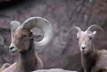 Desert bighorn sheep ram and ewe, southern Arizona, USA by Danita Delimont