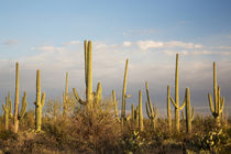 USA, Arizona, Saguaro National Park, Saguaro West-Tucson Mou... by Danita Delimont