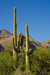 Saguaro, Sabino Canyon, Tucson, Arizona, USA. by Danita Delimont