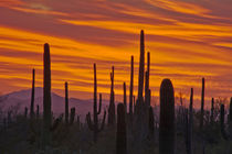 Saguaro, sunset, Saguaro National Park, Arizona, USA by Danita Delimont