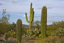 Saguaro and Prickly Pear Cacti, Rincon District, Saguaro Nat... by Danita Delimont