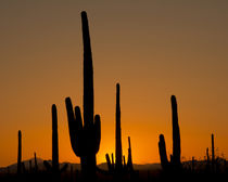 Saguaro at sunset, Saguaro National Park, Arizona, USA von Danita Delimont
