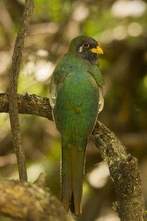 Male, Juvenile, Elegant Trogon, perched, Patagonia State Par... by Danita Delimont