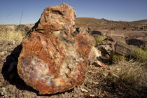 Petrified log, Crystal Forest, Petrified Forest National Park, Arizona by Danita Delimont
