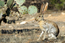An antelope jackrabbit alert for danger. by Danita Delimont