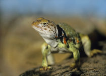 Collared Lizard in defensive posture, Arizona, USA by Danita Delimont