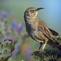 Curve-billed thrasher on a cactus, Arizona, USA by Danita Delimont