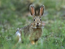 Desert Cottontail looks at the camera, Arizona, USA by Danita Delimont