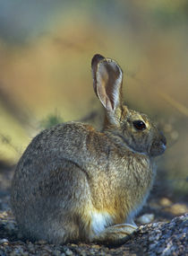 Desert Cottontail relaxed and content, Arizona, USA von Danita Delimont