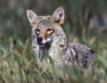 Coyote standing in the grass, Arizona, USA by Danita Delimont