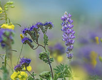 Blue phacelia and desert lupine, Arizona, USA von Danita Delimont