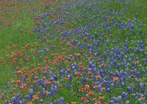 Texas bluebonnets and paintbrushes in a field, Arizona, USA. by Danita Delimont