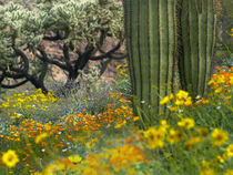 Desert in bloom, Organ Pipe Cactus National Monument, Arizona, USA von Danita Delimont