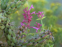 Giant hummingbird mint and cholla cactus, Arizona, USA von Danita Delimont