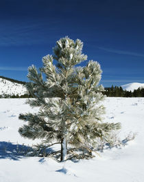 USA, California, Inyo National Forest, Jeffrey Pine covered with snow by Danita Delimont