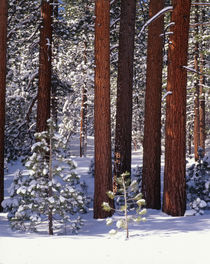 USA, California, Inyo National Forest, Pine covered with snow by Danita Delimont