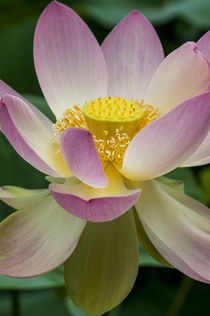 USA, California, Central Coast, Santa Barbara, lotus bloom by Danita Delimont