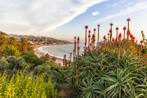 Overlooking blooming aloe in Laguna Beach, CA by Danita Delimont