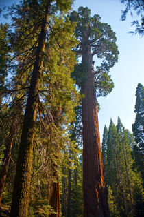 USA, California, Sequoia, Kings Canyon National Park, Grant ... von Danita Delimont