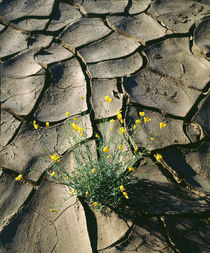 Wildflowers growing from cracked mud von Danita Delimont