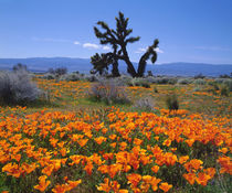 California Poppies and a Joshua Tree in Antelope Valley by Danita Delimont