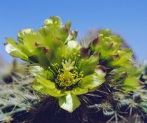 Cholla Catcus wildflowers in Valley of the Moon von Danita Delimont
