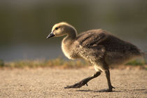 Canada Gosling in Lakeside by Danita Delimont
