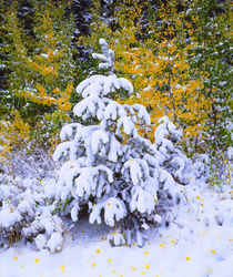Snow covered trees in the High Sierra von Danita Delimont
