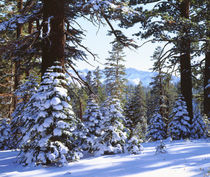 Snow Covered Red Fir trees in the High Sierra by Danita Delimont