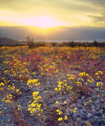 Wildflowers in Death Valley National Park by Danita Delimont