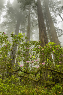 USA, California, Redwoods National Park von Danita Delimont