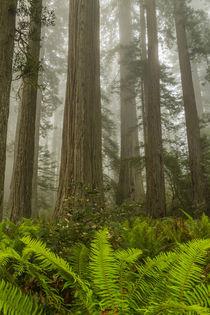 USA, California, Redwoods National Park von Danita Delimont