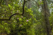 USA, California, Redwoods National Park by Danita Delimont