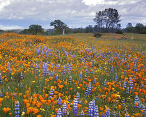 USA, California, Santa Margarita, Avenales Wildlife Area, Sh... by Danita Delimont