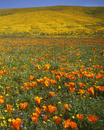 USA, California, Antelope Valley California Poppy Preserve, ... von Danita Delimont