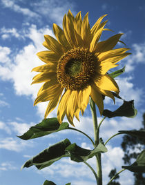 California, A Mammoth Sunflower in Spring Valley. by Danita Delimont