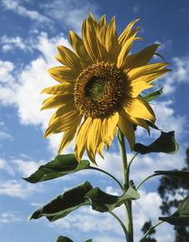 California, A Mammoth Sunflower in Spring Valley. von Danita Delimont