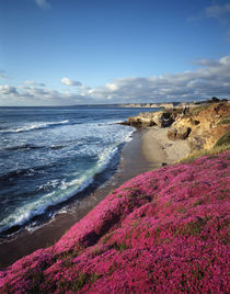 USA, California, La Jolla, Flowers along the Pacific Coast. von Danita Delimont