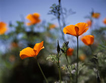 USA, California, California Poppy Wildflowers . von Danita Delimont