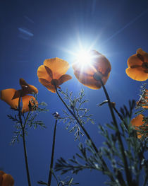USA, California, The sunset behind an California Poppy Wildflowers by Danita Delimont