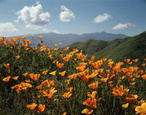 USA, California, Lake Elsinore, California Poppy Wildflowers... von Danita Delimont