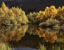 USA, California, Sierra Nevada Mountains, Autumn colors of a... by Danita Delimont