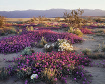 USA, California, Anza Borrego Desert State Park, Sand Verben... von Danita Delimont