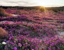 USA, California, Anza Borrego Desert State Park, Sand Verben... by Danita Delimont