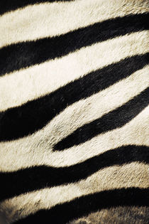 USA, California, San Diego Zoo, Extreme Close-up of Zebra by Danita Delimont