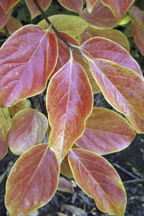 Fall foliage, the autumn leaves of a California persimmons tree. von Danita Delimont