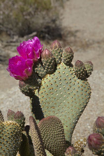 Beavertail Cactus in flower, found only in Alabama Hills, ne... von Danita Delimont