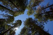 Trees at Tuolumne Sequoia Grove, near Crane Flat, Yosemite N... von Danita Delimont