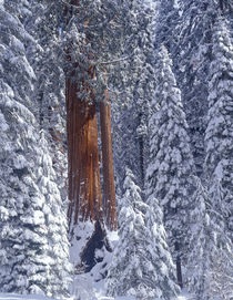 Snow covered forest, Sequia Kings Canyon National Park, California von Danita Delimont