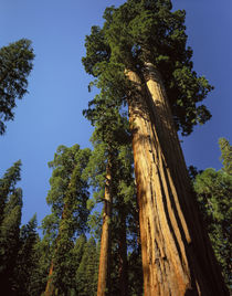 Looking up a Giant Sequoia tree in Giant Forest, Sequoia Kin... by Danita Delimont